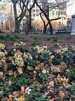 Washington Square Park beginning to Bloom