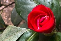 """""""A Rose, It Grows"""""""