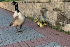 Goslings!!!