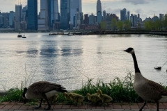 Goslings with a View