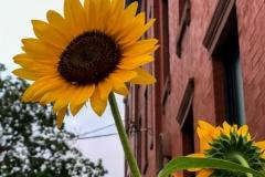 City Sunflower