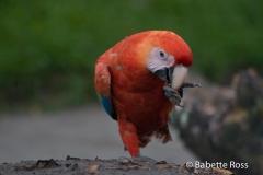 Monkey Island - Parrot