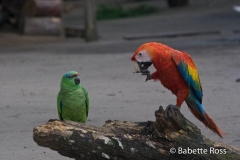 Monkey Island - Parrots