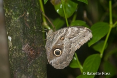 Monkey Island - Moth