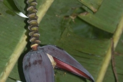 Monkey Island - Orchid