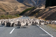 Traffic Jam en route to Aoraki