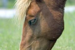Assateague Wild Horse
