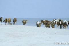 Assateague Wild Horses