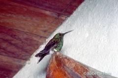 House Hummingbird