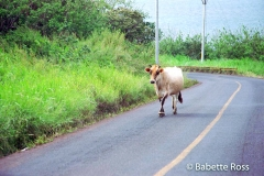 Cow in the Road