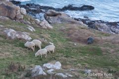 Fur Seals & Sheep