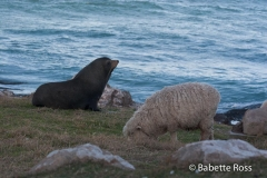 Fur Seal & Sheep