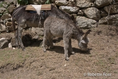Inca Trail Donkey