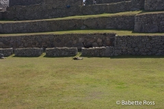 Machu Picchu - Llama