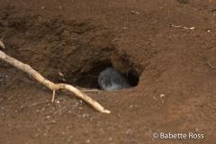 Kilauea Point Nest