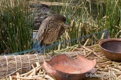 Uros Bird