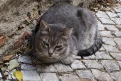 Alfama Cat