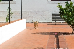 Sao Vicente de Fora Dog