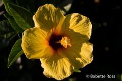 Lahaina Flowers