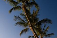 Lahaina Palm Trees