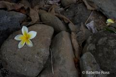 Hibiscus, Iao State Park