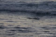 Lahaina  Spotted Ray