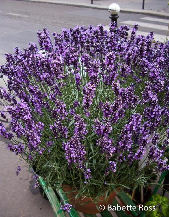 Lavender 2009-07-10