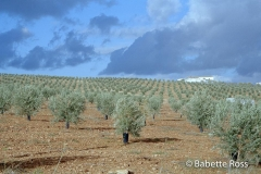 Olive Grove  between Cordoba & Ronda