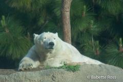 San Diego Zoo - Polar Bear