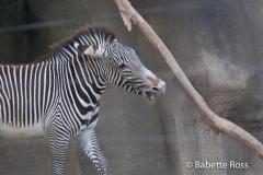 San Diego Zoo - Zebra