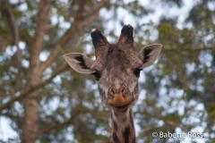 San Diego Zoo - Giraffe