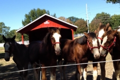 Grant's Farm Clydesdales