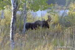 Oxbow Bend, Moose