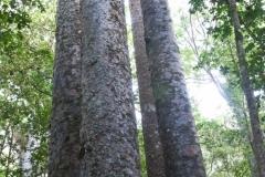 Waipoua Kauri Forest - Four Sisters