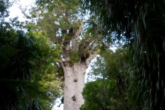 Waipoua Kauri Forest - Tane Mahuta