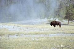 Buffalo, Old Faithful