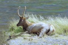 Elk, Gibbon River